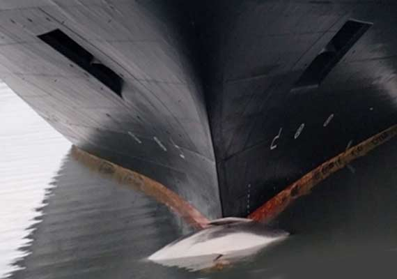 Dead Whale Discovered On Bow Of Holland America Cruise Ship Crew - Cruise ship whale