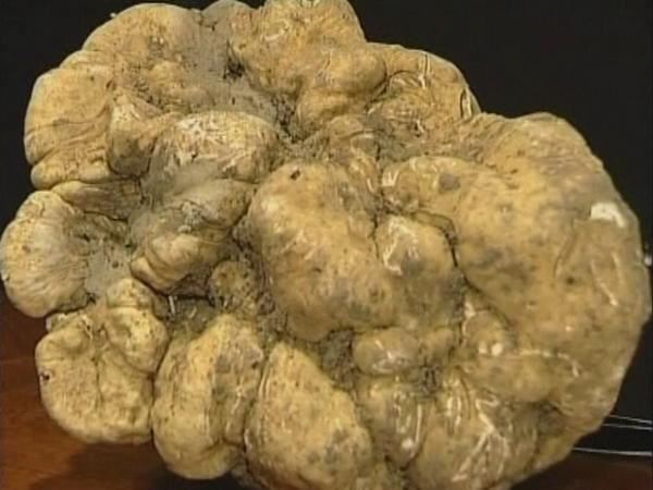 Italian White Alba Truffle – $160,406 Expensive truffles are notoriously  pricey because they are difficult to cultivate. This makes them a true  delicacy which some have called the king of all fungi.